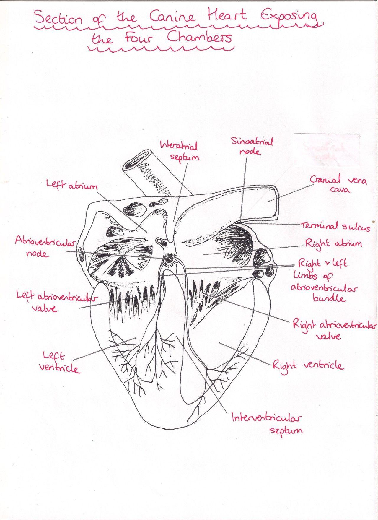 dog heart anatomy   Tumblr   Study Archives   Pinterest   Heart anatomy