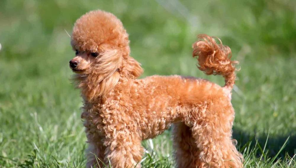 20 Dogs That Live The Longest Poodle puppy, Miniature