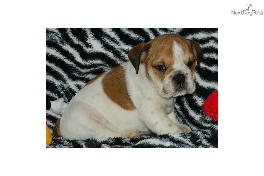 Star - Champion English Bulldog Puppy | English Bulldog puppy for sale near Denver, Colorado | d402f7da-4741
