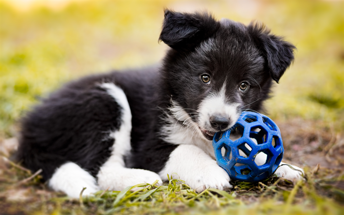 Download Wallpapers Border Collie Dog Puppy Close Up Pets Cute Animals Black Border Collie Puppy With Ball Dogs Border Collie Besthqwallpapers Com Collie Dog Border Collie Dog Border Collie