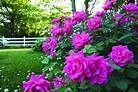 Caring for Knockout Roses #knockoutrosen Caring for Knockout Roses #knockoutrosen Caring for Knockout Roses #knockoutrosen Caring for Knockout Roses #knockoutrosen