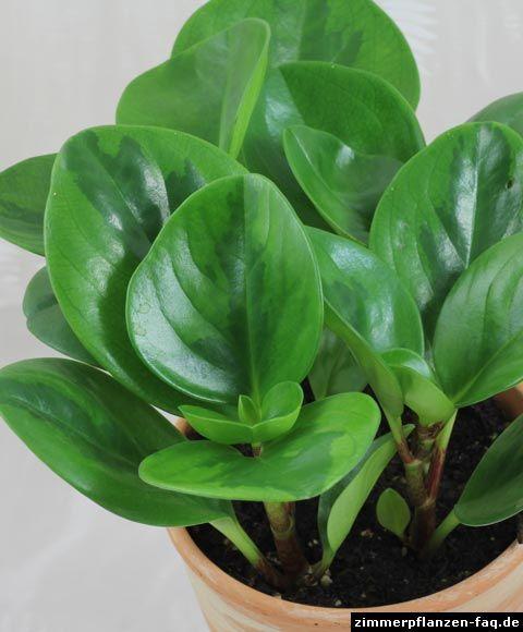 Grünpflanzen Green Plants Zimmerpflanzen: Peperomia Obtusifolia
