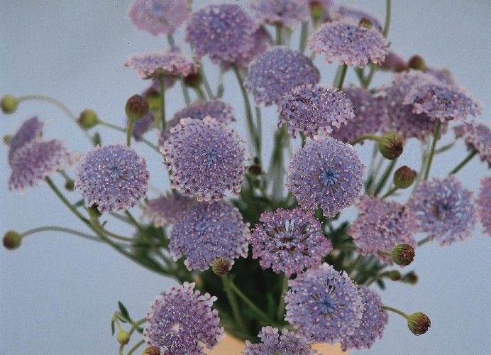 Didiscus Caeruleus Sky Blue Sutton Seeds Flowers Seeds