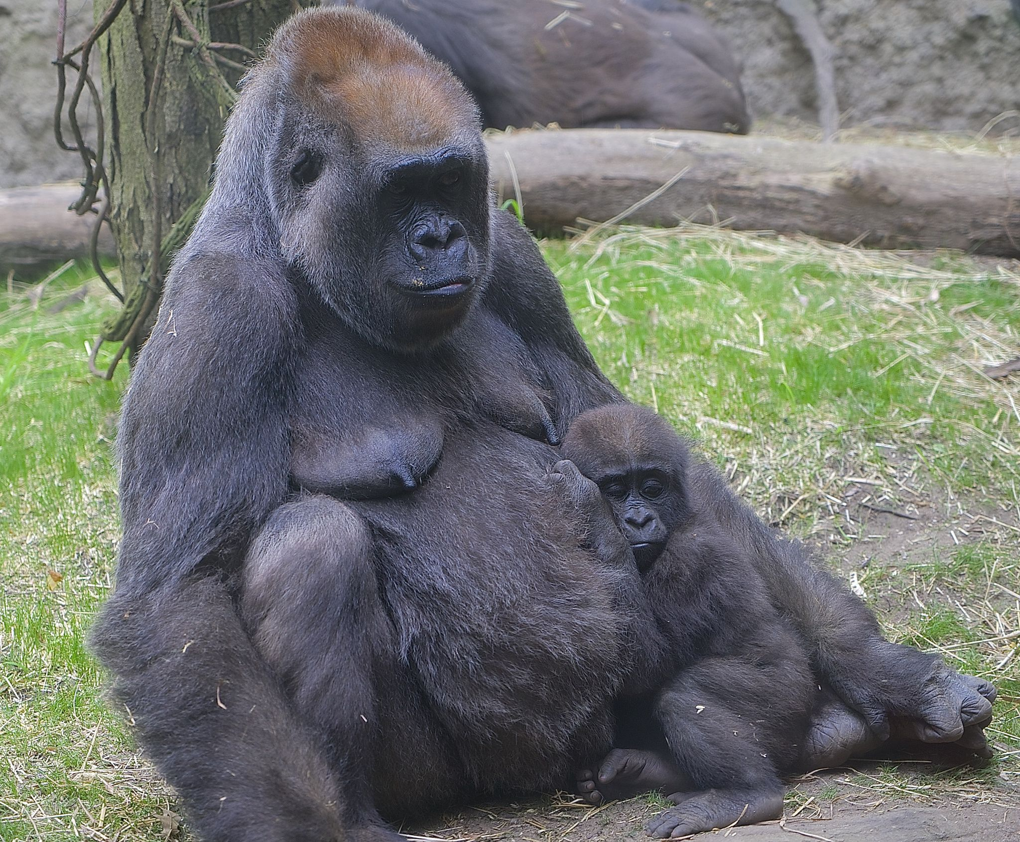 Photograph Baby Gorilla and Mom by Charlie Kaye on 500px
