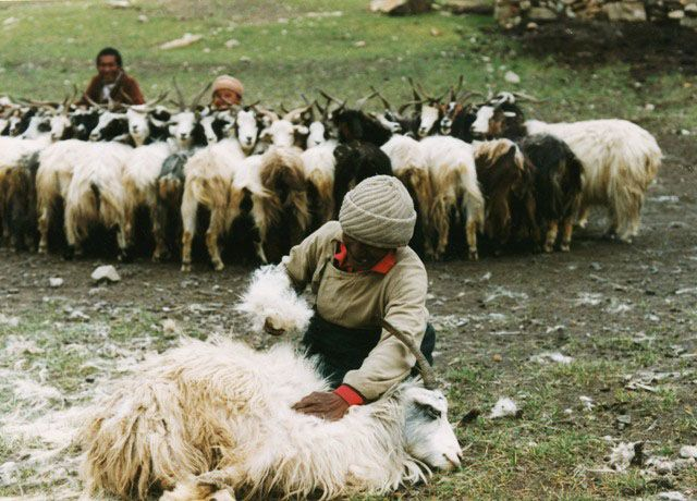 plucking cashmere from a changthang goat tibet scarves shawls wraps pinterest filz. Black Bedroom Furniture Sets. Home Design Ideas