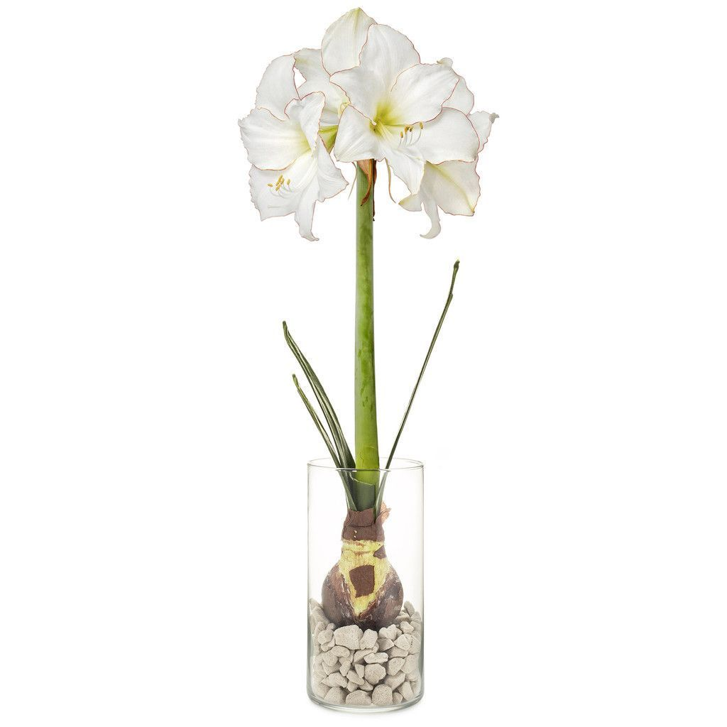 Self Watering Winter Blues Bulb Kit Amaryllis