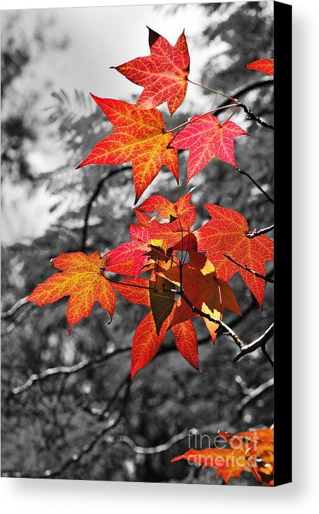 Autumn on black and white canvas print canvas art by kaye menner red accents autumn and canvases