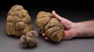 This is the fossilized dung of a Giant Sloth, estimated to be 100,000 years old. #seriouslyamazing