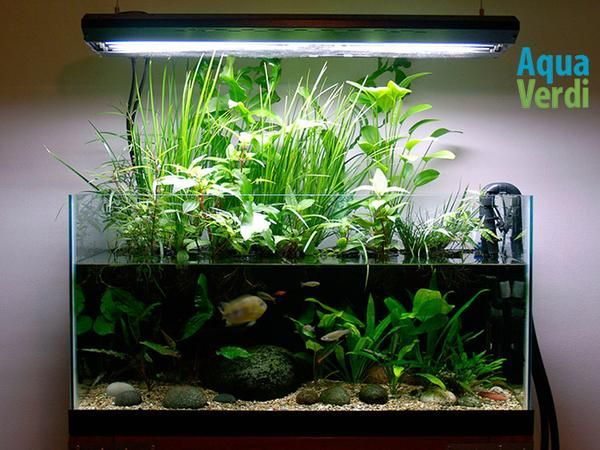 50 gallon tank planted as a riparium with japanese sweetflag and a