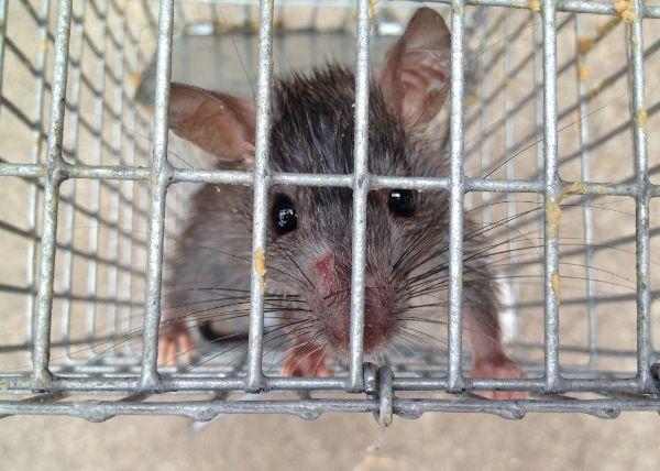 Oh Rats Animals Rodents Rat Control
