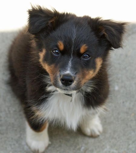 Puppy Breed Australian Shepherd My Name Is Presso Short For