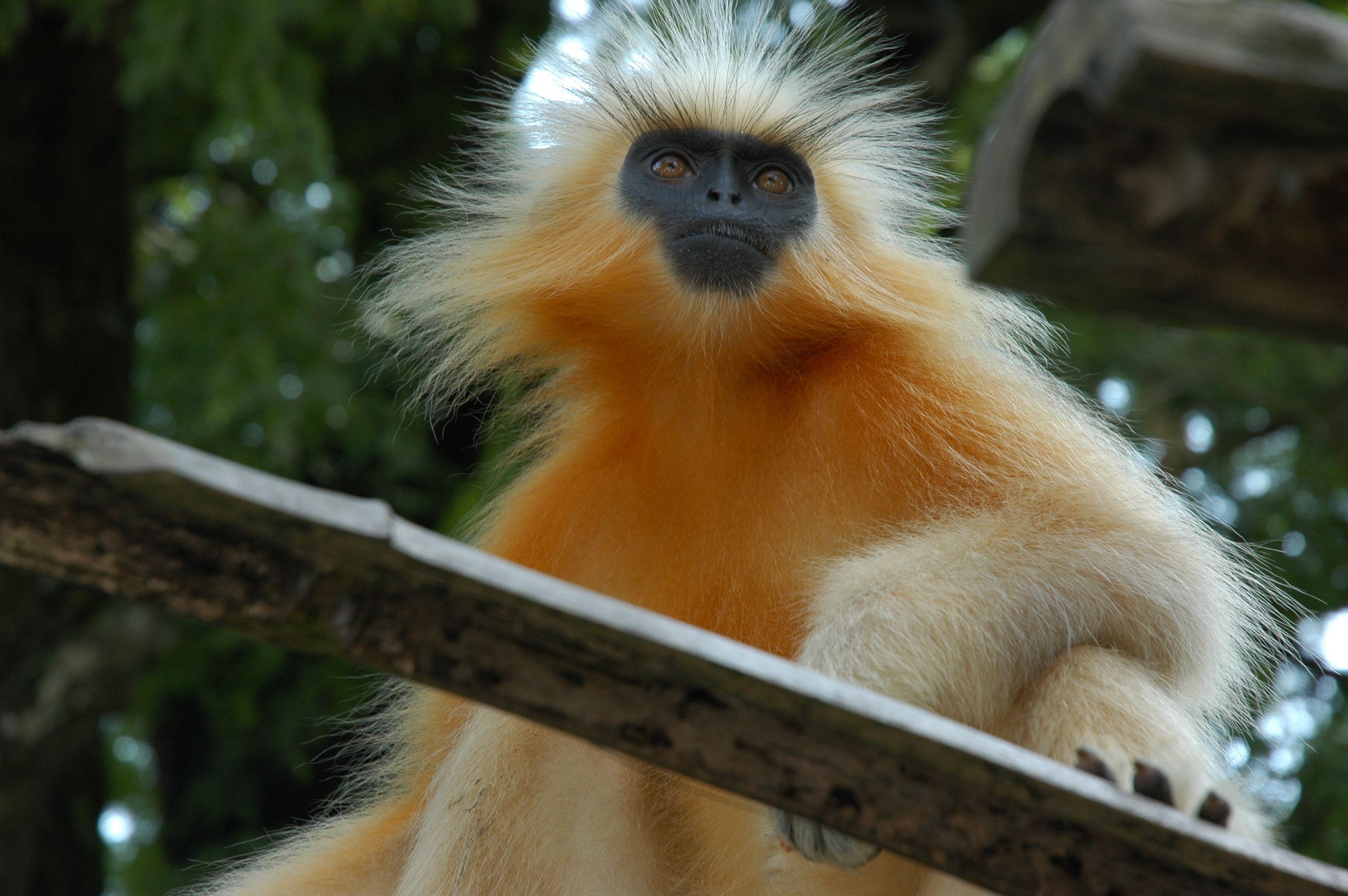 Hoolock gibbon Sanctuaries in Manipur, India @ Sanctuariesindia.com |  Animals beautiful, Most beautiful animals, Animals