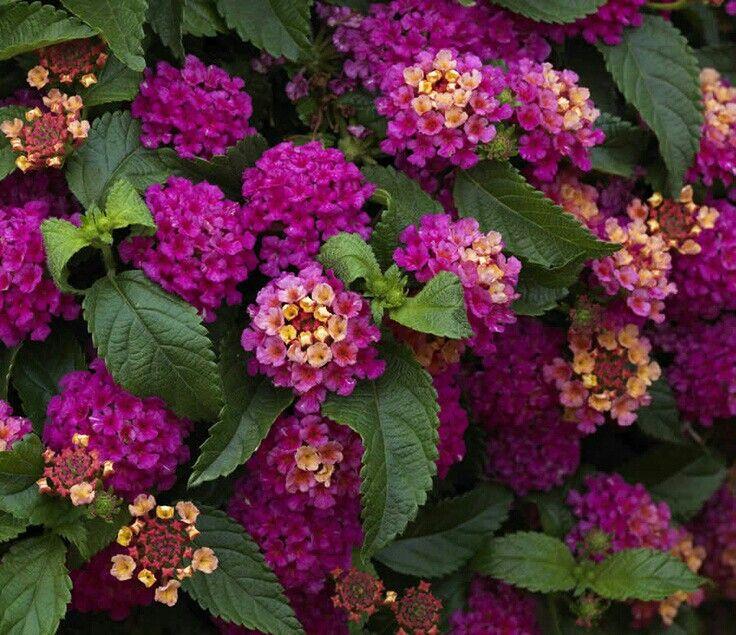 Arbusto Decorativo De Las Violetas En La Maceta Blanca