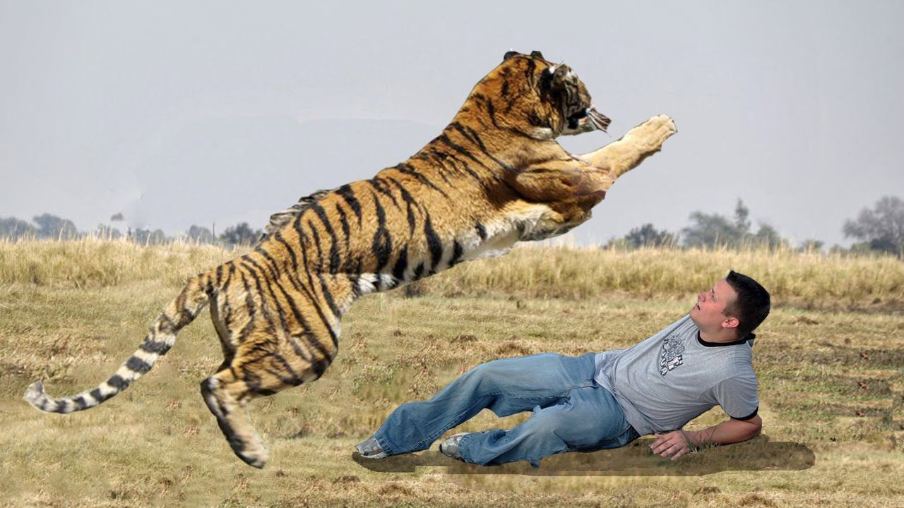 Tiger vs Man On Elephant Wild Tiger Attack Human