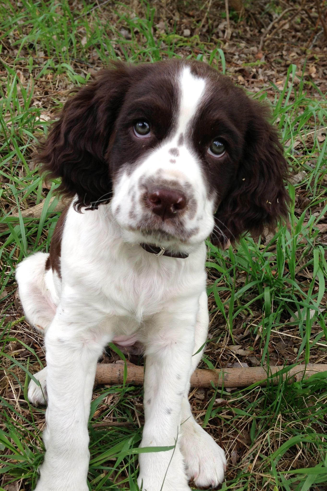 Springer Spaniel Puppy just what riley looked like as a