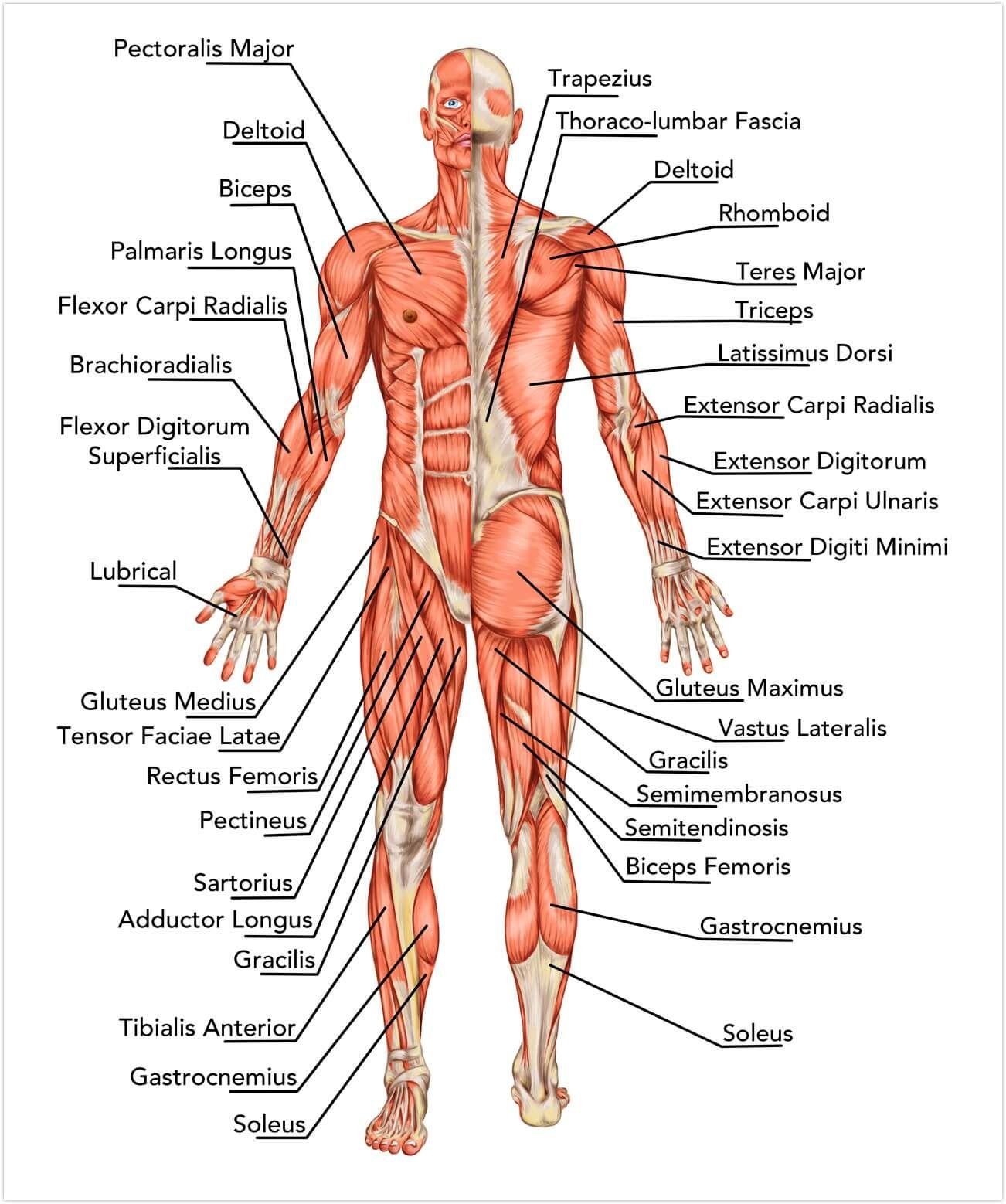 Muskulatur des Menschen | Körper | Pinterest - Biologie