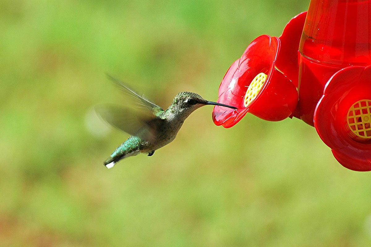 The 17 Species of Hummingbirds in Texas (With Pictures