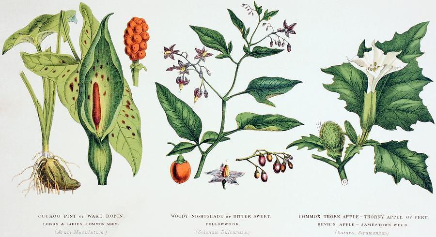 3-common-poisonous-plants-english-school.jpg 900×490 pixels | poisonous plants | Pinterest ...
