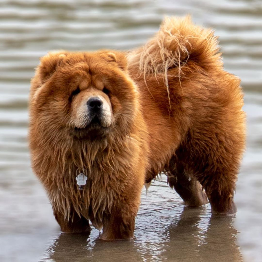 Looking For Chow Chow Breed Information Well You Ve Come To The