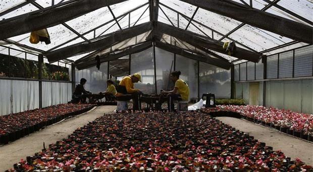 Vivero Municipal: la fábrica de árboles cumple 100 años  Dos hombres trasplantan las flores de estación de macetas pequeñas a otras más grandes. Foto: LA NACION / Silvana Colombo