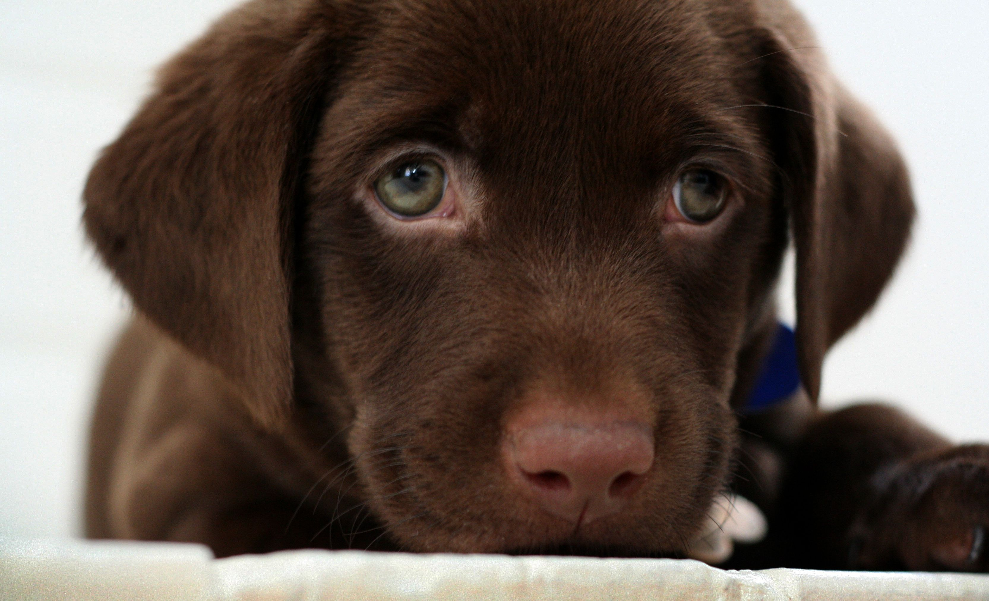 The Cutest Puppies In The World 18 Photos Chocolate Lab Puppies Lab Puppy Puppy Dog Eyes