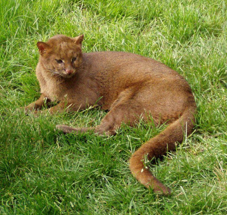 Jaguarundi Big Cats Pinterest