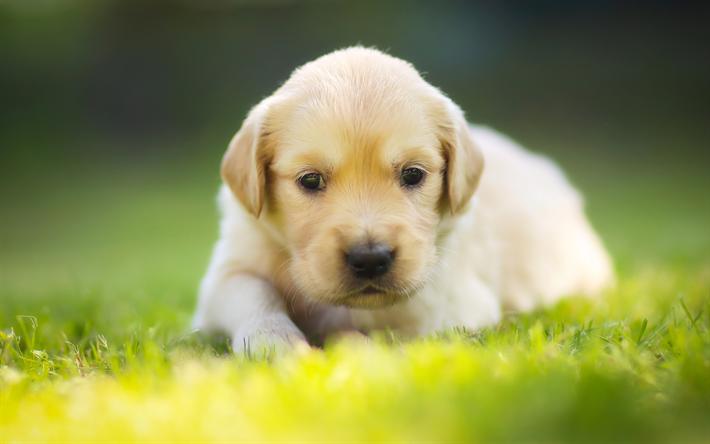 Download Wallpapers Small Labrador Cute Animals White Puppy Small Dog Green Grass 4k Labrador Retriever Besthqwallpapers Com Cani Di Piccola Taglia Labrador Retriever Cuccioli Di Cani