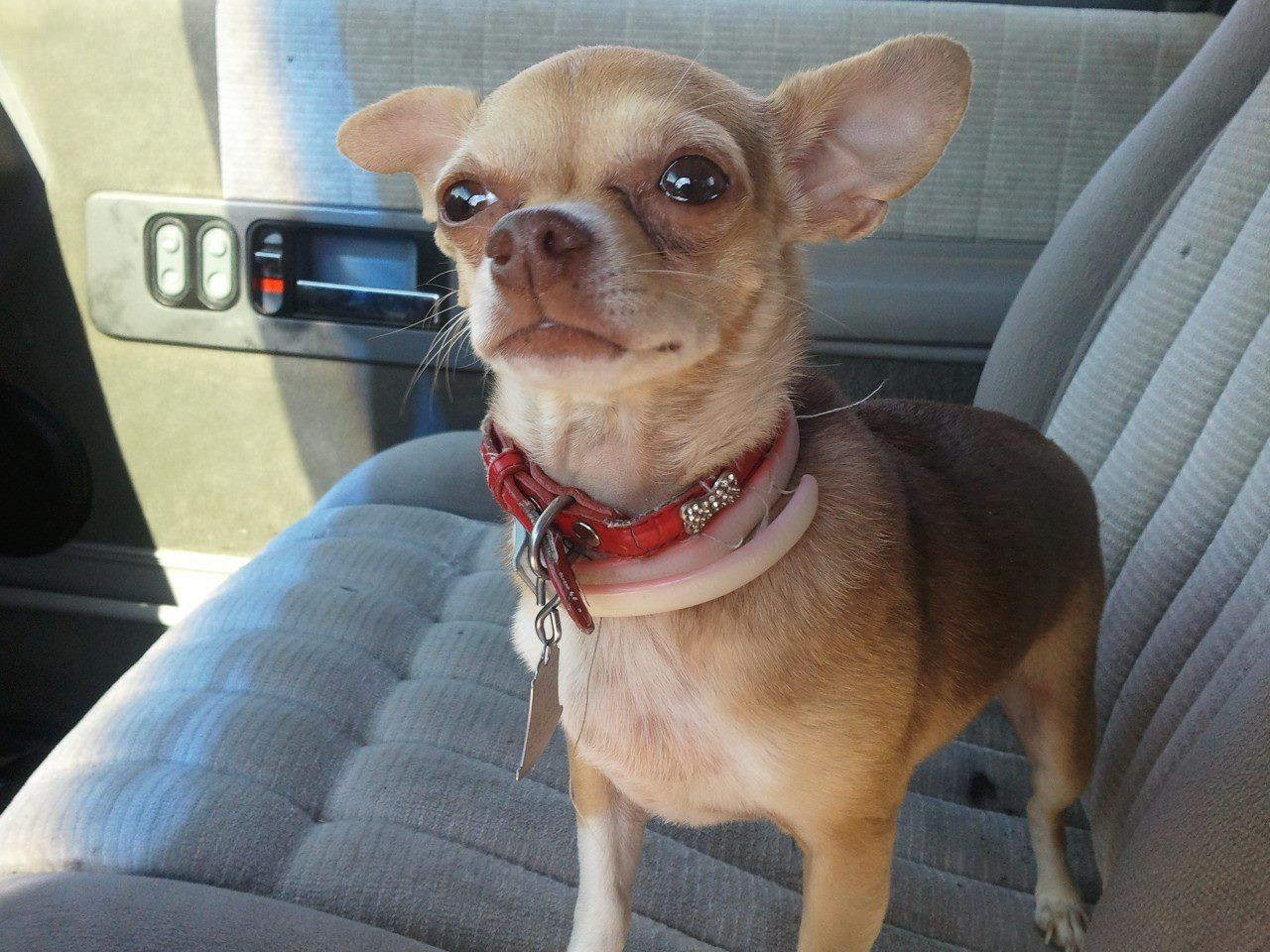 Damned happy to be at walmart with images chihuahua