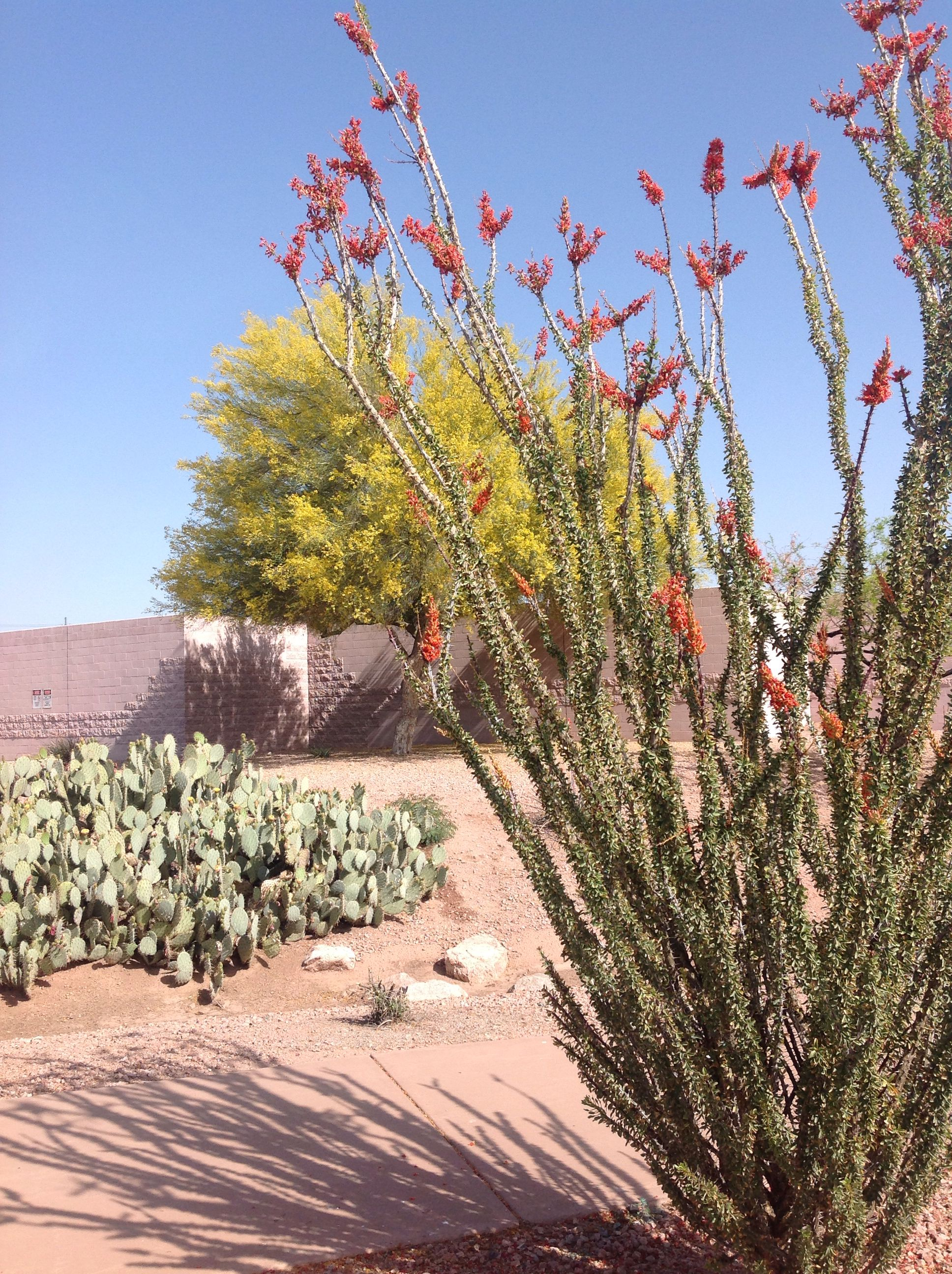 Blooming Ocotillo Cactus With A Blooming Palo Verde Tree Behind Springtime In Arizona Desert Landscaping Nature Artists Palo Verde