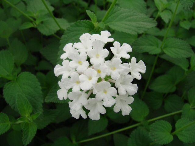 White Lantana Lantana Plant Lantana Plants