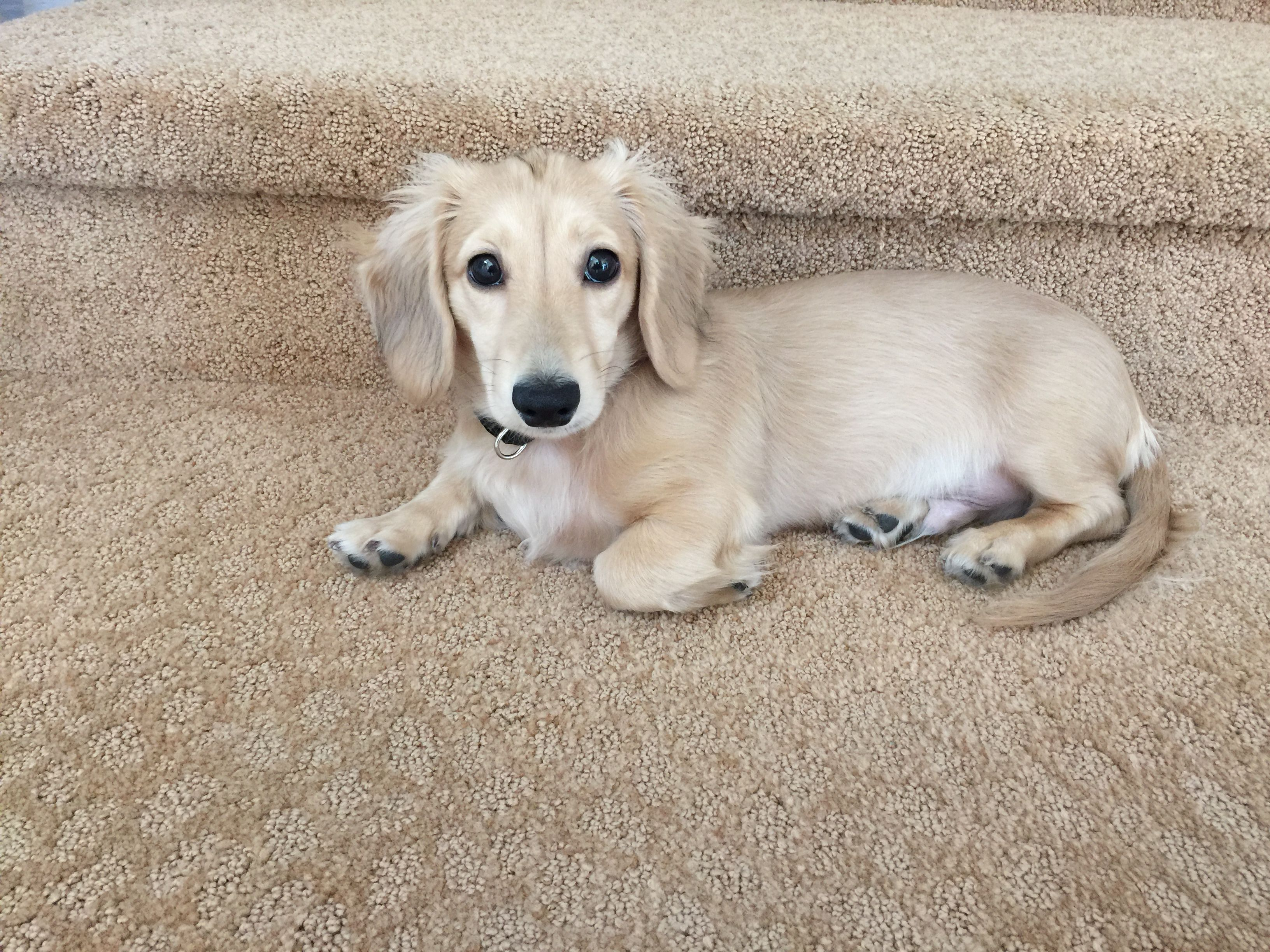 Ernie Today 4 5 Months Old Long Haired English Cream Dachshund Dachshund Dog Dachshund Love Weenie Dogs