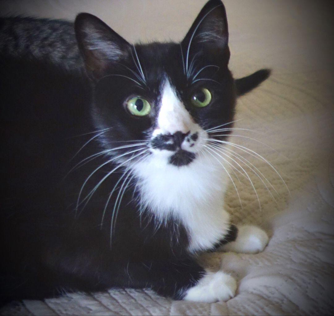 Smudge is a friendly, sweet, gentle, and chatty oneyear