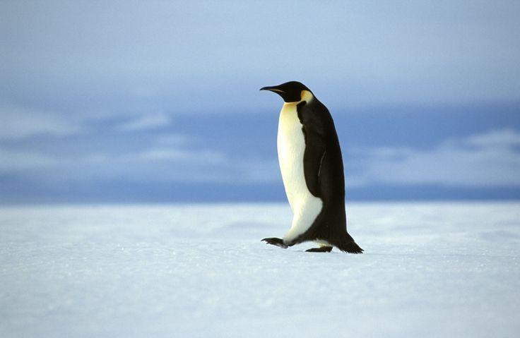 #PhotoOfTheDay | Weddell Sea | Emperor Penguin #OceanwideExpeditions