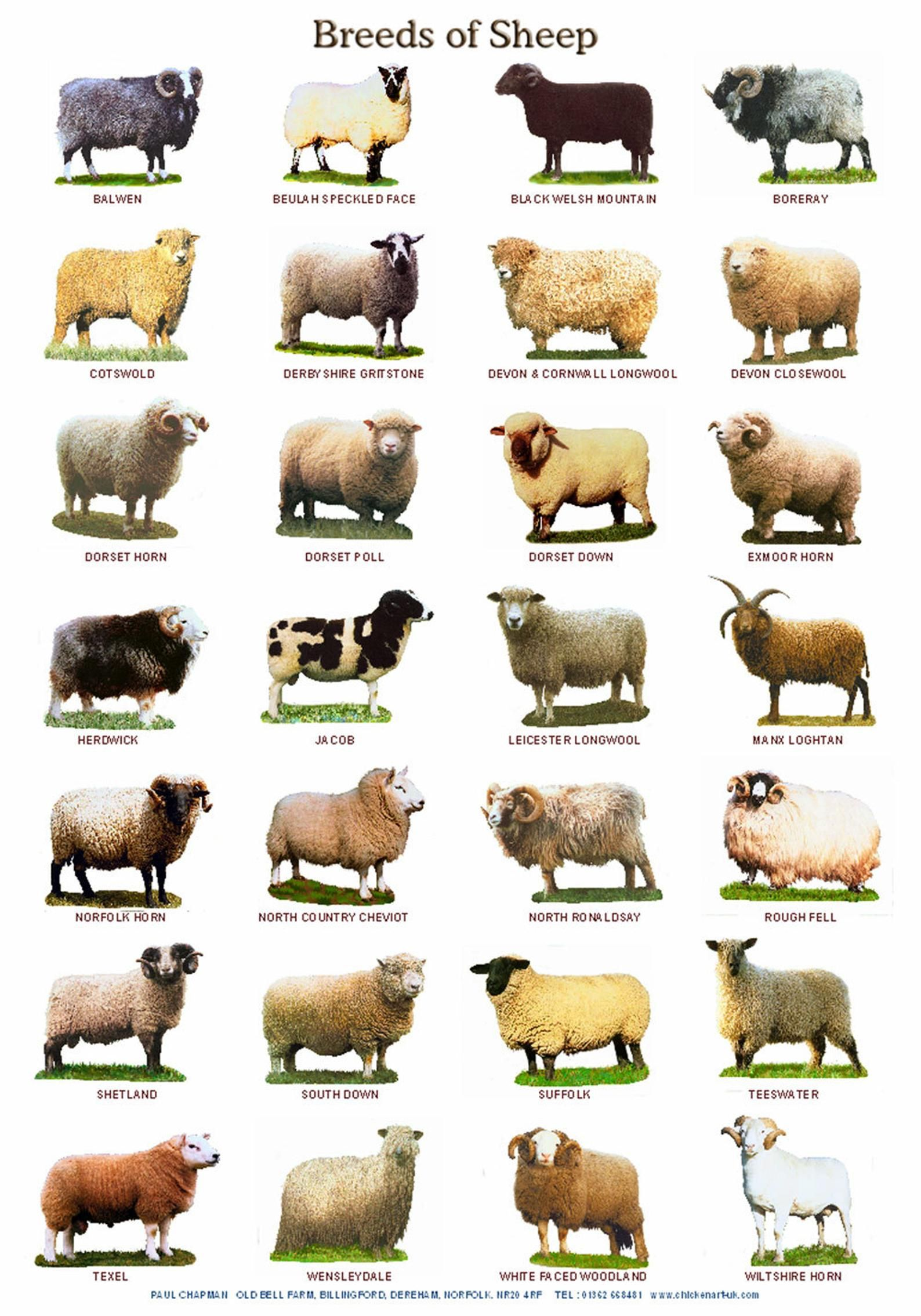 A4 Laminated Posters. Breeds of Cattle, Sheep or P