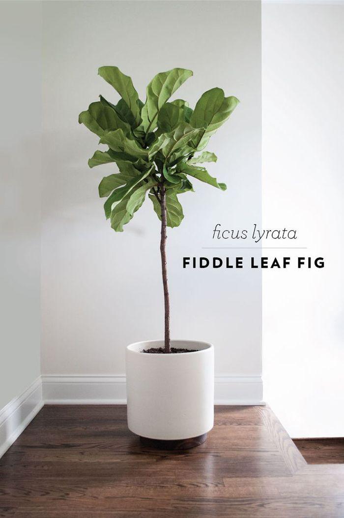 Interiors  Exteriors Fiddle Leaf Fig The Brunette One zero - decoracion de interiores con plantas