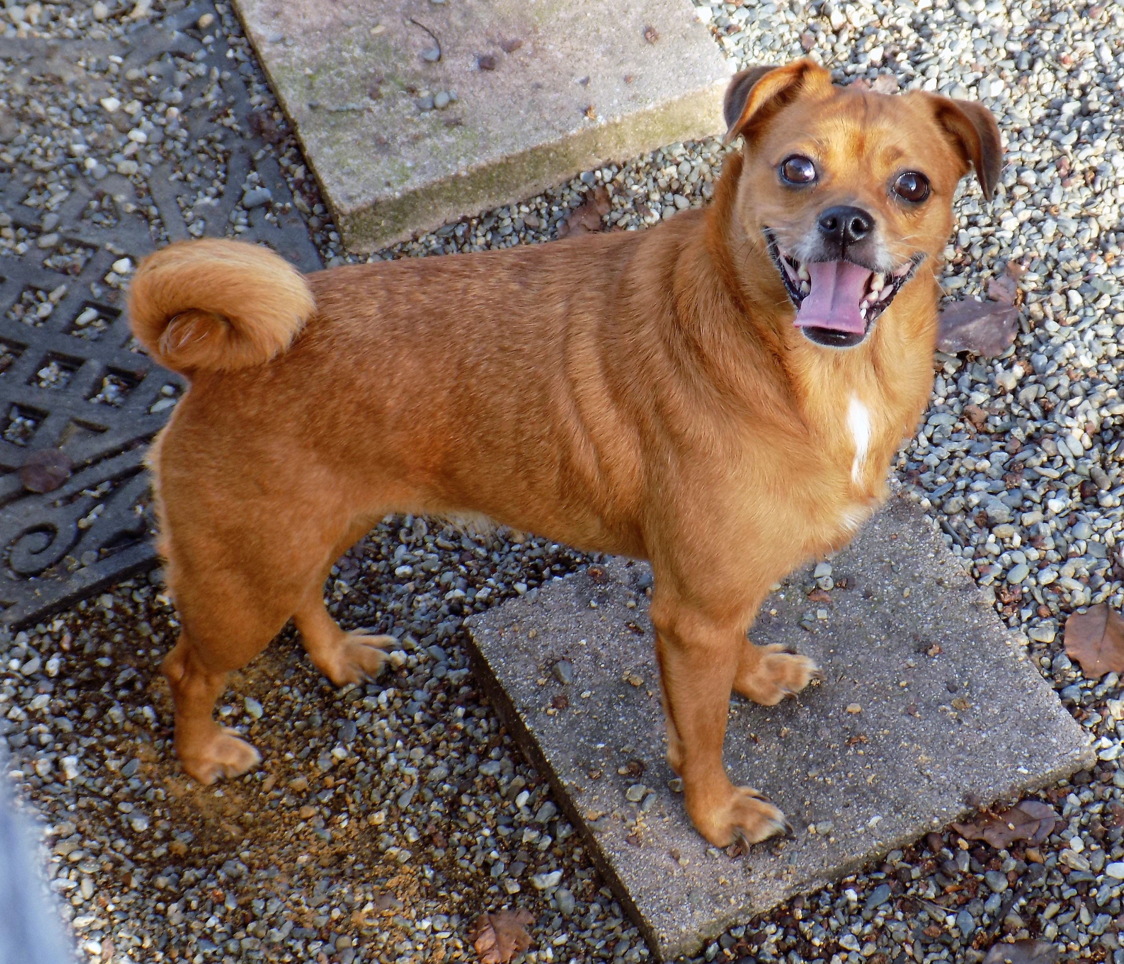 Chug Dog For Adoption In Redding Ca Adn 783326 On Puppyfinder