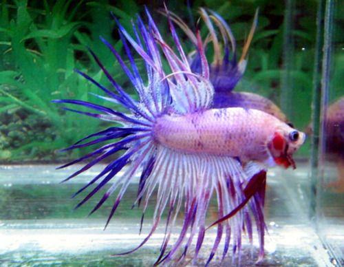 Fishyskeepswimming crowntail male betta fish for sale for Purple betta fish for sale