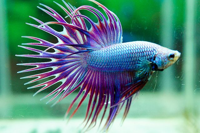 Siamese fighting fish green lavender dragon crown tail for Nourriture combattant