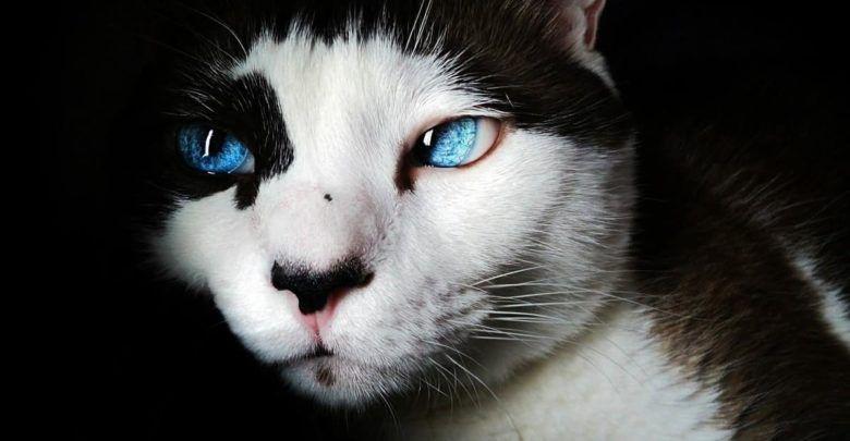 تفسير حلم قطة تلاحقني وتهاجمني في المنام لابن سيرين Cat With Blue Eyes Cats Cat Care