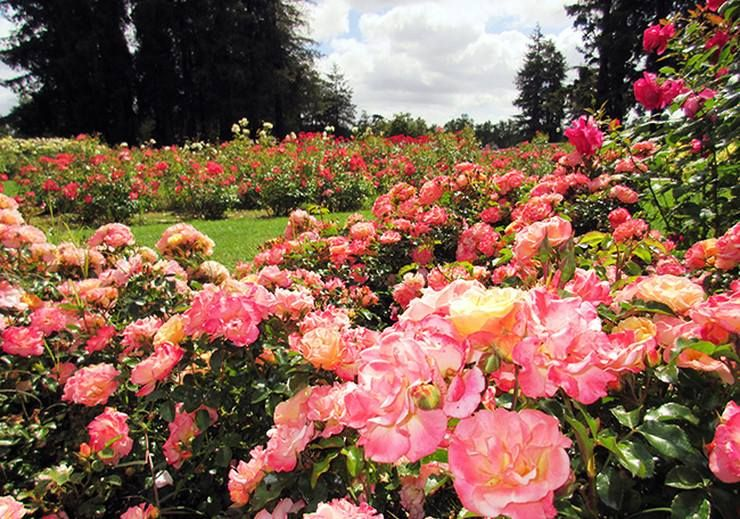 The Beautiful Municipal Rose Garden In San Jose California This Is My Favorite Picture I Ve Taken Of The P Bay Area Travel Rose Garden San Francisco Bay Area