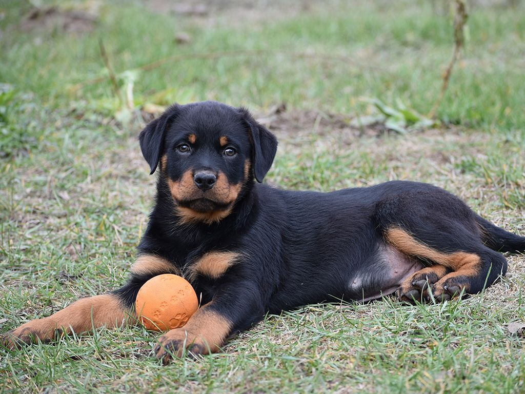 Rottweiler For Sale Rottweiler Puppies Rottweiler Puppies Rottweiler Dogs