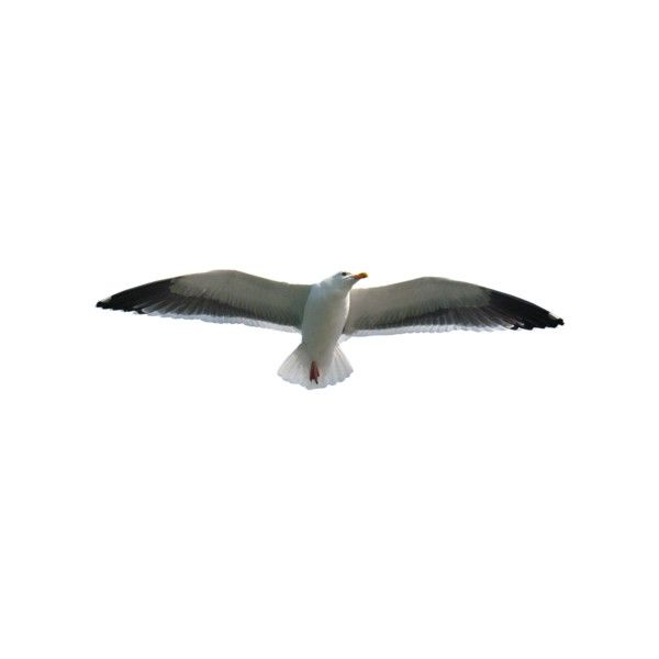seagulls.png ❤ liked on Polyvore featuring birds and animals
