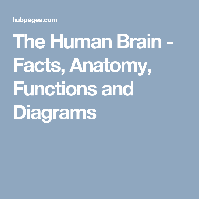 The Human Brain: Facts, Anatomy, and Functions | anatomy | Pinterest ...