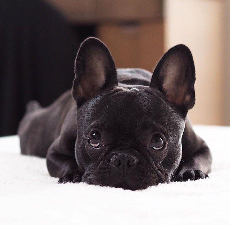 Resultado de imagen para 犬 frenchie