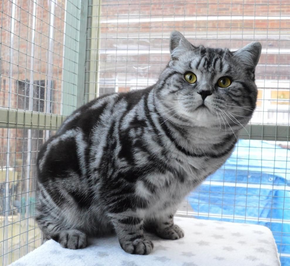 Our Boy Tigatails British Shorthair Silver Tabbies Spotteds