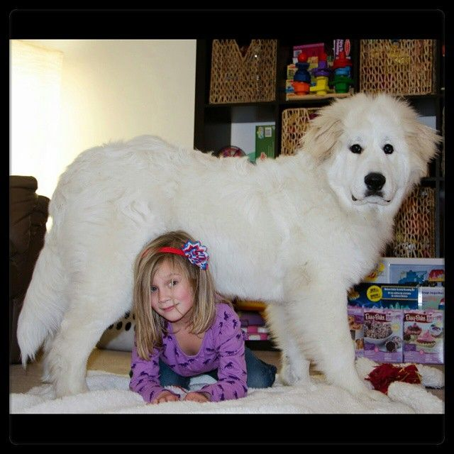 A Pyrenees Truly Is The Best Protection For A Family Their Judge