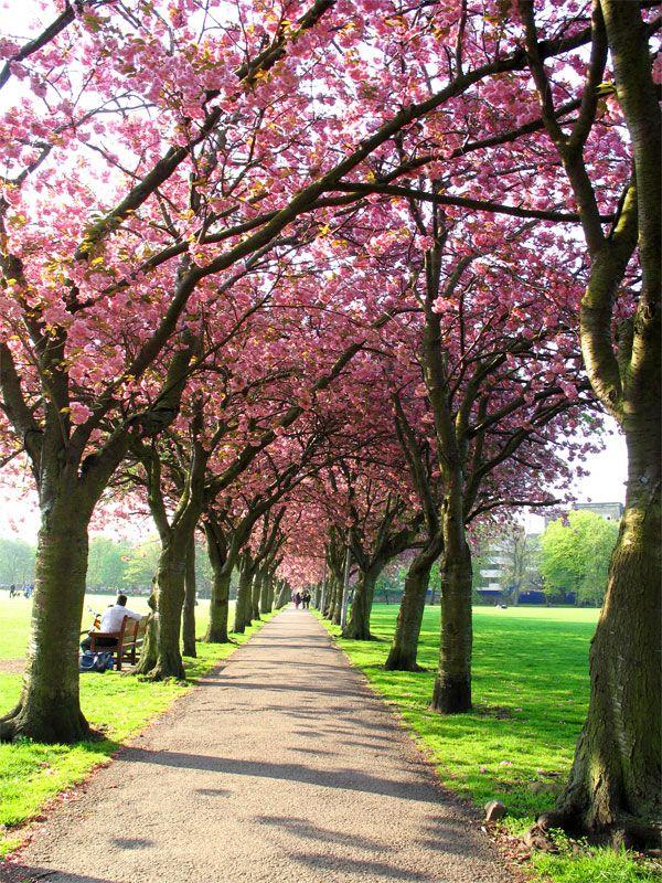 Cherry Blossom In The Meadows Edinburgh Scotland Scotland Castles Scotland Travel England Ireland