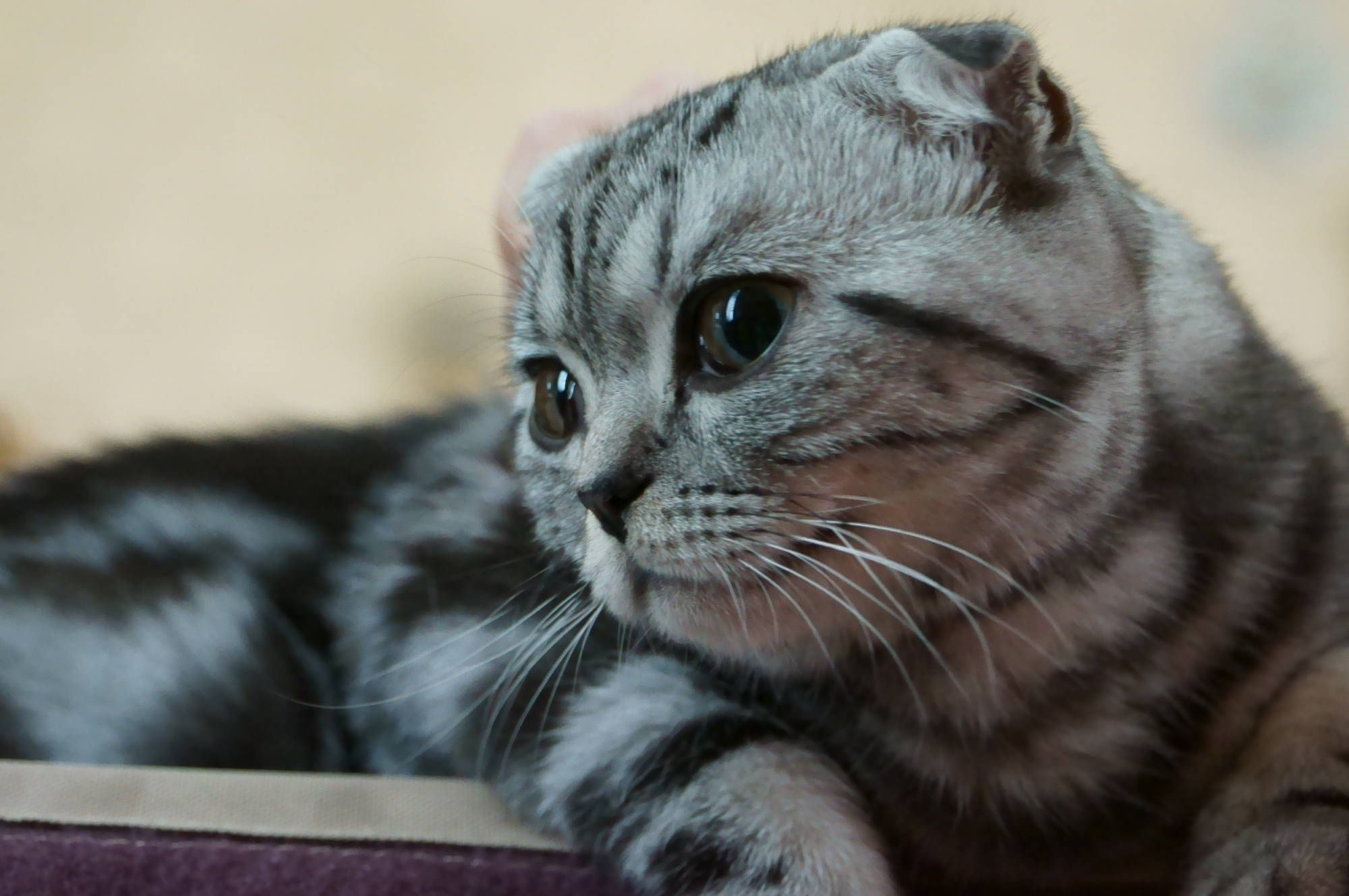 8 Things You Didn T Know About Scottish Folds Quiz Cat Breeds Kitten Breeds Cat Scottish Fold