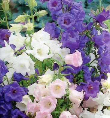 PAPAVER RUPIFRAGUM /'ORANGE FEATHERS POPPY Hardy perennial  50  Fresh Seeds