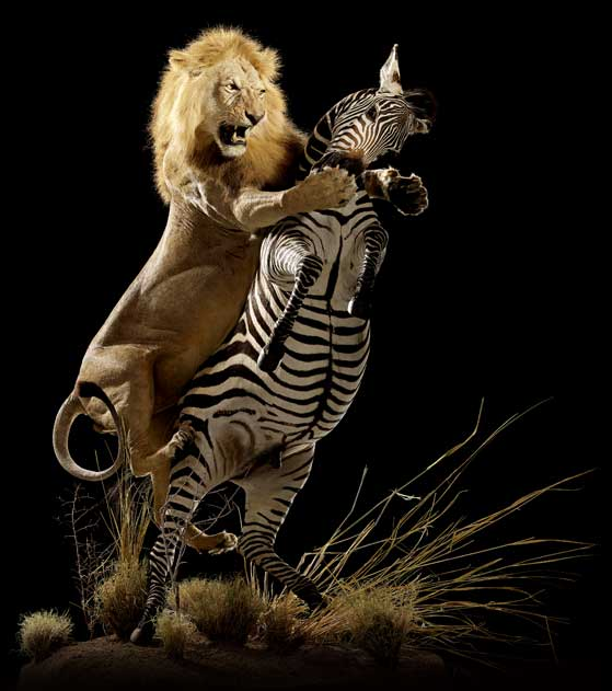 In the photograph above, the lion is seen attacking and strangling its prey, the zebra.